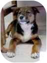 Shepherd (Unknown Type)/Chow Chow Mix Puppy for adoption in Sacramento, California - Jaya