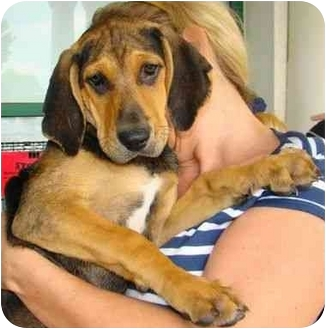 Black and Tan Coonhound Mix Puppy for adoption in Richmond, Virginia - Bo