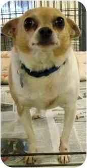 Chihuahua Dog for adoption in Edwards, Illinois - Louie