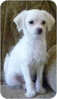 Yorkie, Yorkshire Terrier/Chihuahua Mix Puppy for adoption in Greensboro, North Carolina - Blanco