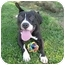 Photo 2 - American Pit Bull Terrier/French Bulldog Mix Dog for adoption in Bellflower, California - Ludwig