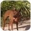 Photo 1 - Miniature Pinscher Dog for adoption in Phoenix, Arizona - Gigit