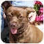 Photo 1 - Corgi/Chihuahua Mix Dog for adoption in West Los Angeles, California - Ivy