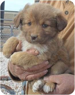 Pomeranian/Beagle Mix Puppy for adoption in Anton, Texas - One
