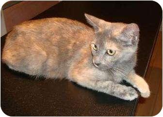 Domestic Mediumhair Cat for adoption in Phoenix, Arizona - Nutmeg