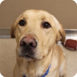 Labrador Retriever Mix Dog for adoption in Naperville, Illinois - Buster