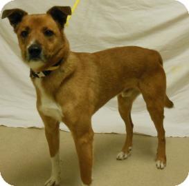 German Shepherd Dog Mix Dog for adoption in Gary, Indiana - Tito