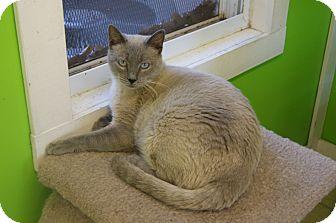 Siamese Cat for adoption in Memphis, Tennessee - Apollo
