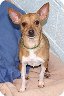 Fox Terrier (Toy)/Chihuahua Mix Dog for adoption in Muskegon, Michigan - Kayla