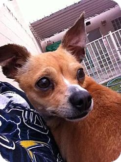 Chihuahua Mix Dog for adoption in Las Vegas, Nevada - Sweetie
