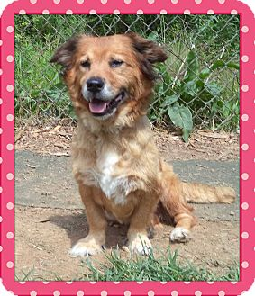 Sheltie, Shetland Sheepdog/Retriever (Unknown Type) Mix Dog for adoption in Marietta, Georgia - MACY