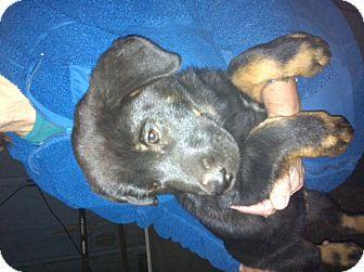 Rottweiler/Labrador Retriever Mix Puppy for adoption in Nuevo, California - Rocky