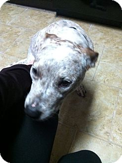Catahoula Leopard Dog Dog for adoption in Boonsboro, Maryland - Charlie