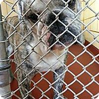 Adopt A Pet :: Lucas - Winder, GA