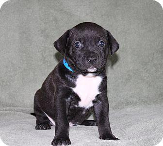 Labrador Retriever/Border Collie Mix Puppy for adoption in Wellington, Florida - Comic