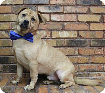 Pug/Beagle Mix Dog for adoption in Benbrook, Texas - Raylen