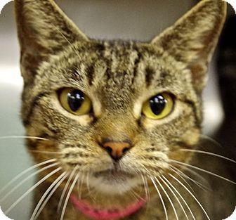 Domestic Shorthair Cat for adoption in Daytona Beach, Florida - Sparky