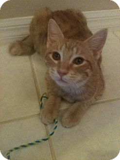 Domestic Shorthair Cat for adoption in Orlando, Florida - Captain Hook