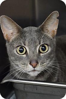 Domestic Shorthair Cat for adoption in Bradenton, Florida - Smokey