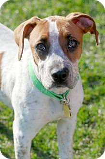Boxer/Australian Cattle Dog Mix Puppy for adoption in Delano, Minnesota - Lucy