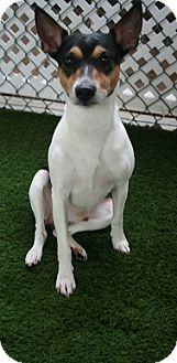 Rat Terrier Dog for adoption in San Antonio, Texas - George