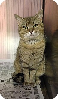 Domestic Shorthair Cat for adoption in Colonial Heights, Virginia - Keiran