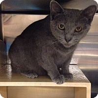 Domestic Shorthair Cat for adoption in Muncie, Indiana - Rosemary