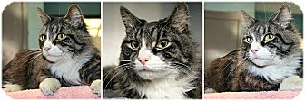 Domestic Longhair Cat for adoption in Forked River, New Jersey - Hunter