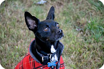 Manchester Terrier Mix Dog for adoption in kennebunkport, Maine - Brewster - in Maine