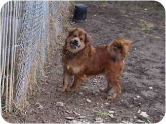Chow Chow Mix Dog for adoption in Millerton, Pennsylvania - Cody