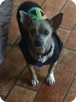Dachshund/Chihuahua Mix Dog for adoption in Lehigh, Florida - Mara