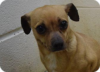 Chihuahua Mix Dog for adoption in Bucyrus, Ohio - Me-O Mya
