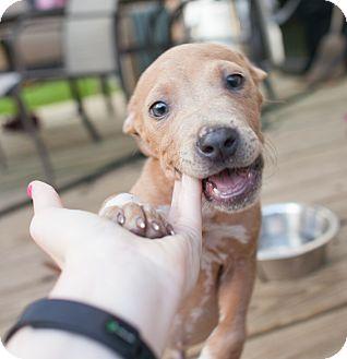 Catahoula Leopard Dog/Labrador Retriever Mix Puppy for adoption in Denver, Colorado - Matteo