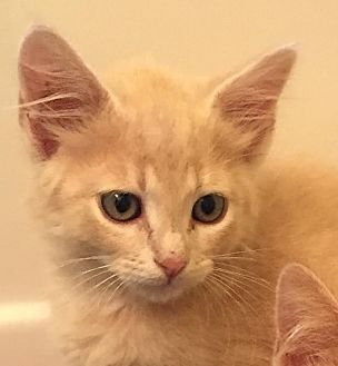 Domestic Shorthair Kitten for adoption in Smyrna, Georgia - Snoopy