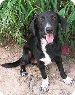 Basset Hound/Border Collie Mix Dog for adoption in East Hartford, Connecticut - Mittens