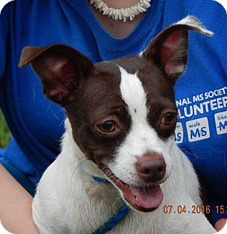 Rat Terrier/Pug Mix Dog for adoption in West Sand Lake, New York - Coco(12 lb) AWESOME Girl!