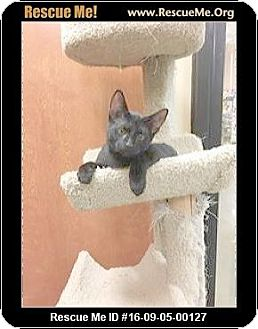 Siamese Kitten for adoption in Madison, Tennessee - Louie loves dogs!