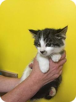 Domestic Shorthair Kitten for adoption in Adrian, Michigan - Tyrion