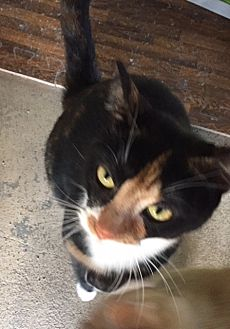 Calico Cat for adoption in Spring Lake, New Jersey - Ginger