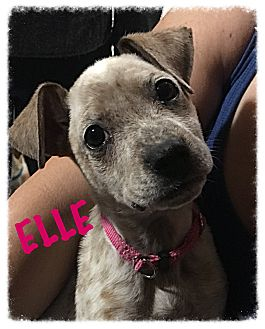 Blue Heeler/Boxer Mix Puppy for adoption in Tempe, Arizona - Elle