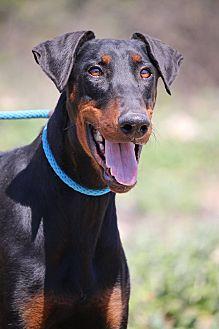 Doberman Pinscher Dog for adoption in Fillmore, California - Aries