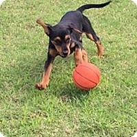 Adopt A Pet :: Koda - Homer, NY