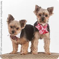 Adopt A Pet :: Sophie & Licker - Dallas, TX