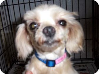 Maltese Dog for adoption in Anderson, South Carolina - Tody