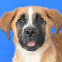 Adopt A Pet :: Joplin - Pagosa Springs, CO