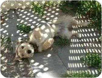 Border Terrier Dog for adoption in Makinen, Minnesota - Lily