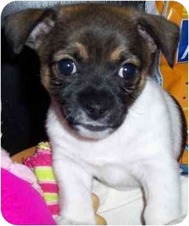 Dachshund/Chihuahua Mix Puppy for adoption in Gilbert, Arizona - Wyatt