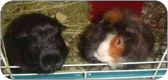 Guinea Pig for adoption in Palm Bay, Florida - Fred and Barney