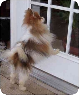 Pomeranian Dog for adoption in conroe, Texas - Kodiak