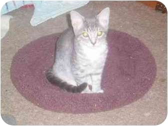 Domestic Shorthair Kitten for adoption in San Diego/North County, California - Mimi